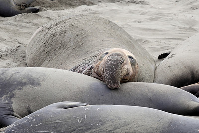 Elephant Seal CA