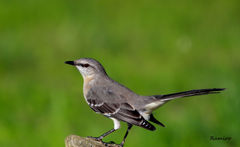 Mocking Bird Braunig 11-9-15 787.jpg