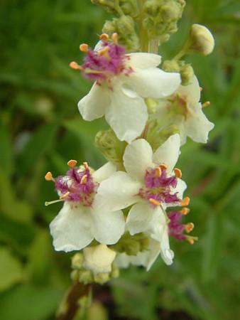 Verbascum phoeniceum 'Album'.jpg