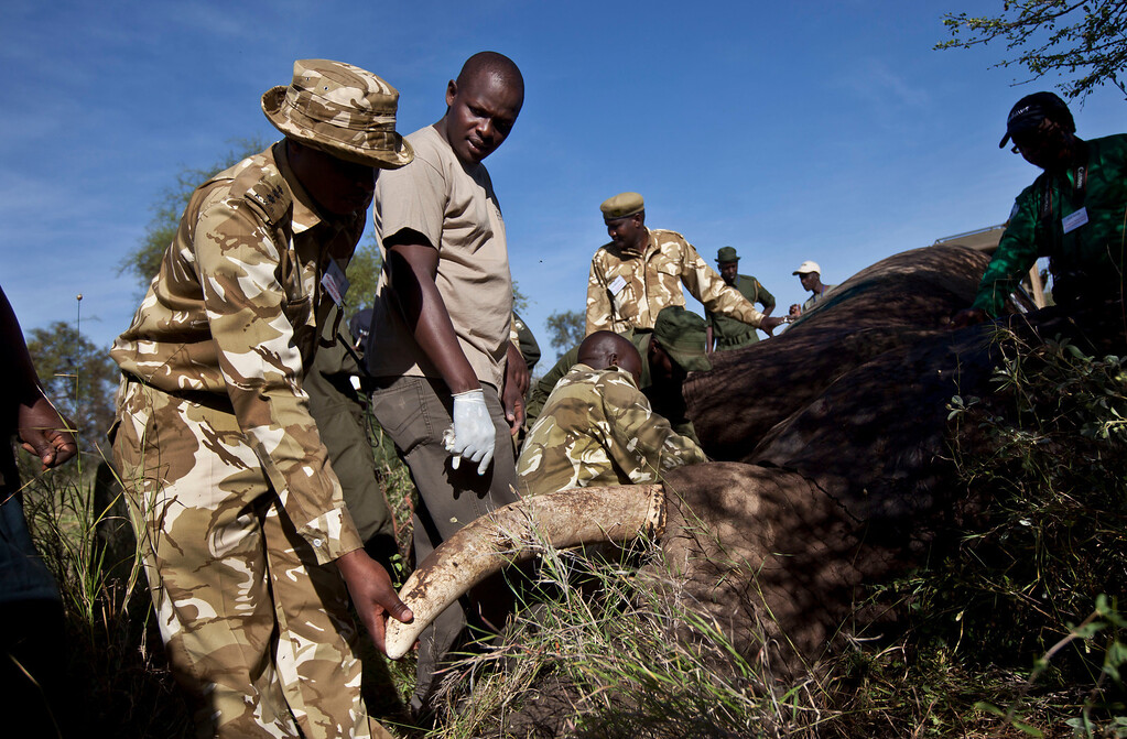 . In this Wednesday, Feb. 20, 2013 photo, a team from the Kenya Wildlife Service (KWS) and the International Fund for Animal Welfare (IFAW) fits a tranquilized 30-year-old male elephant with a GPS-tracking collar to monitor migration routes and to help prevent poaching, in the Osewan area next to Amboseli National Park in southern Kenya, near the border with Tanzania. (AP Photo/Ben Curtis)