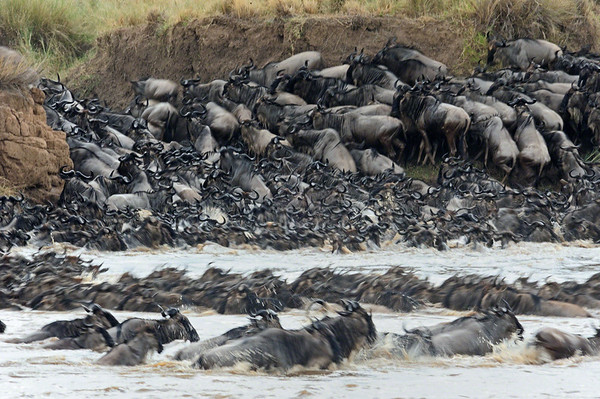 """""""River crossing by wildebeests"""""""