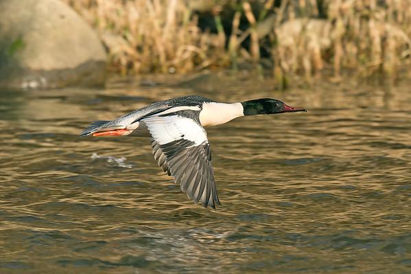 Bird Photos: Wildfowl
