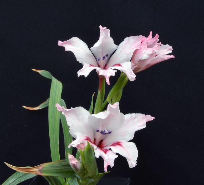 Gladiolus carneus