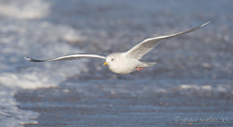 Iceland Gull Pano_O8U6278.jpg