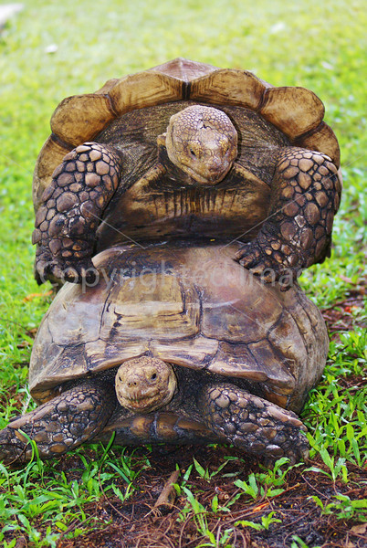 #25 Two turtles playing.JPG