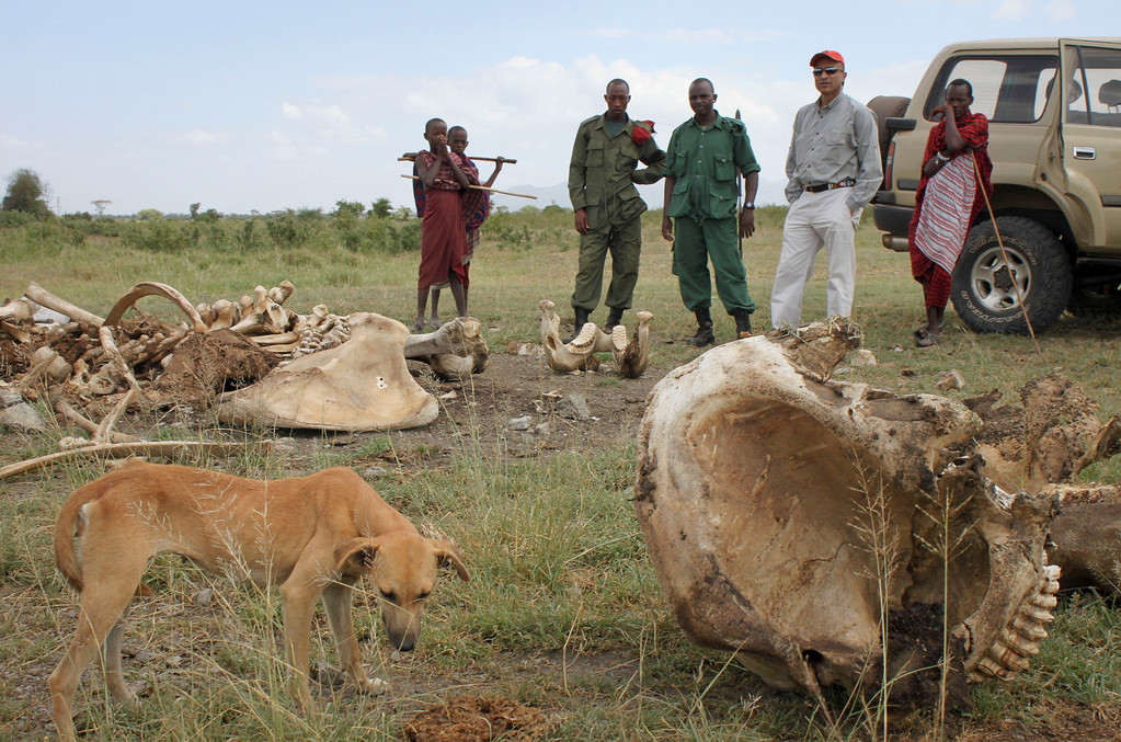 . In this Wednesday, Feb. 13, 2013 photo, a Maasai herder\'s dog eats the rotting flesh of an elephant killed by poachers as Maasai herders, two Village Game Scouts and Pratik Patel, second right, the owner of the tour company Safari Legacy, watch outside of Arusha, Tanzania. Every week brings new reports of elephant deaths - and the government workers who killed them. Army soldiers, wildlife rangers, local police, customs officials - the government is full of employees complicit in the killings of the nation\'s top tourism treasure. (AP Photo/Jason Straziuso)