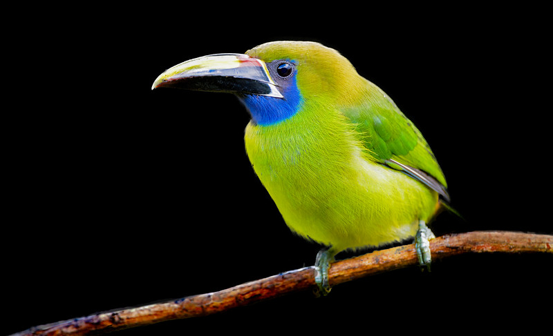 Emerald toucanet on a branch