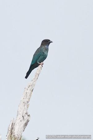 Oriental Dollarbird