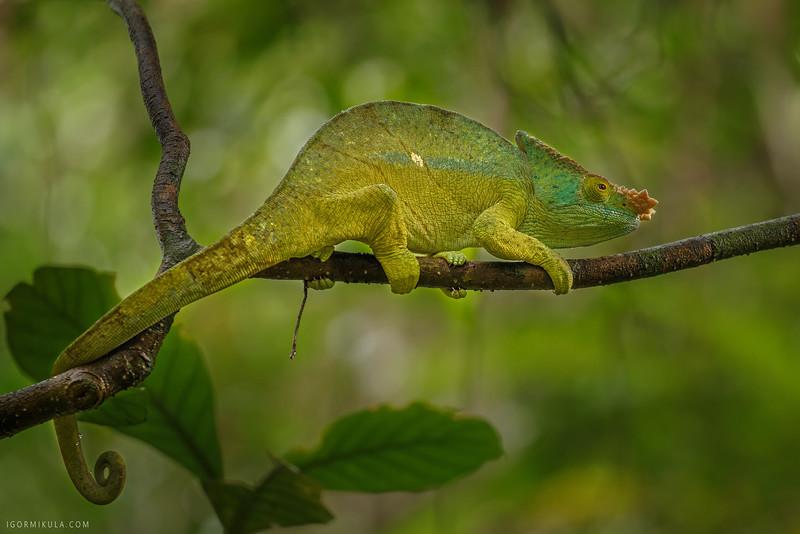 The Parson's chameleon (Calumma parsonii )