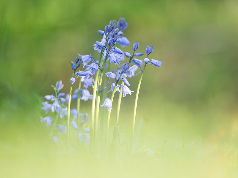 Bluebells macro