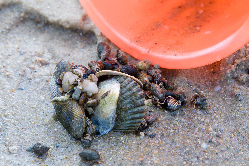 A pile of hermit crabs and shells