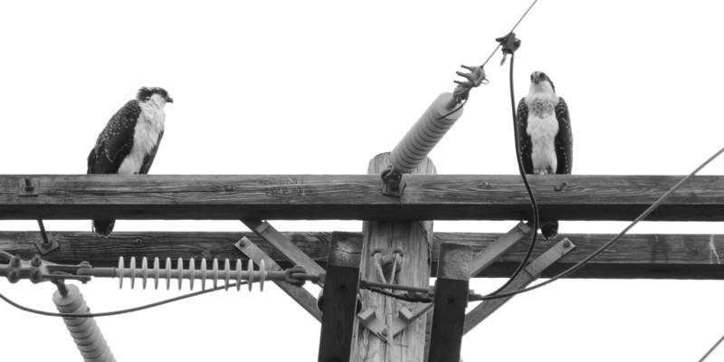 Osprey on a Line.jpg
