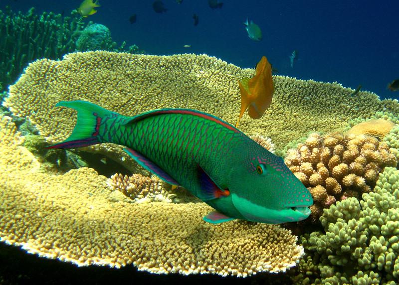 SINGAPORE PARROTFISH - MALDIVES