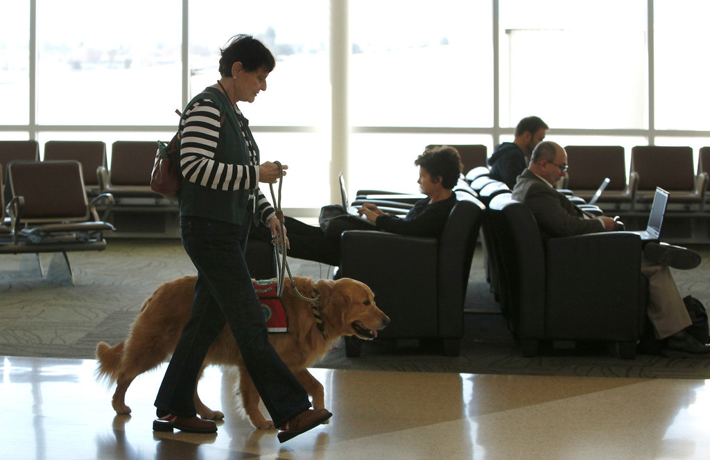 """. Kyra Hubis walks her \""""therapy dog\"""" Henry Jame through Terminal B at Mineta San Jose International Airport in San Jose, Calif. on Monday, Jan. 28, 2013. Henry is one of eleven dogs used by the airport\'s interfaith chaplaincy to help passengers who are dealing with grief, stress, or need emotional support at the airport. (Karl Mondon/Staff)"""