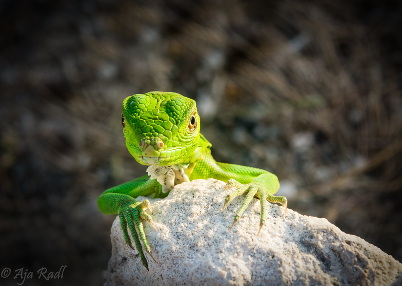 Baby Iguana frontal.jpg