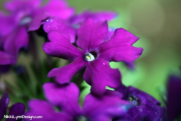 Verbena can be grown as a perennial flower in zones 9-11 and as an annual everywhere else. Flowers have five small petals that come in blue, pink. purple and white.