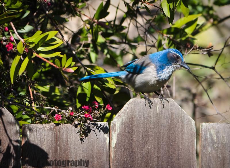 Blue Jay-7594.jpg