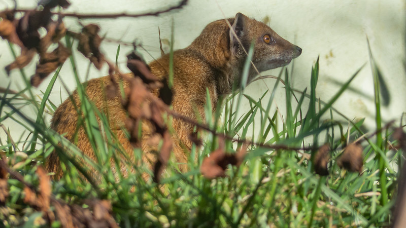 Animals, Marwell Zoo, Mongoose, Yellow Mongoose - 02/02/2013