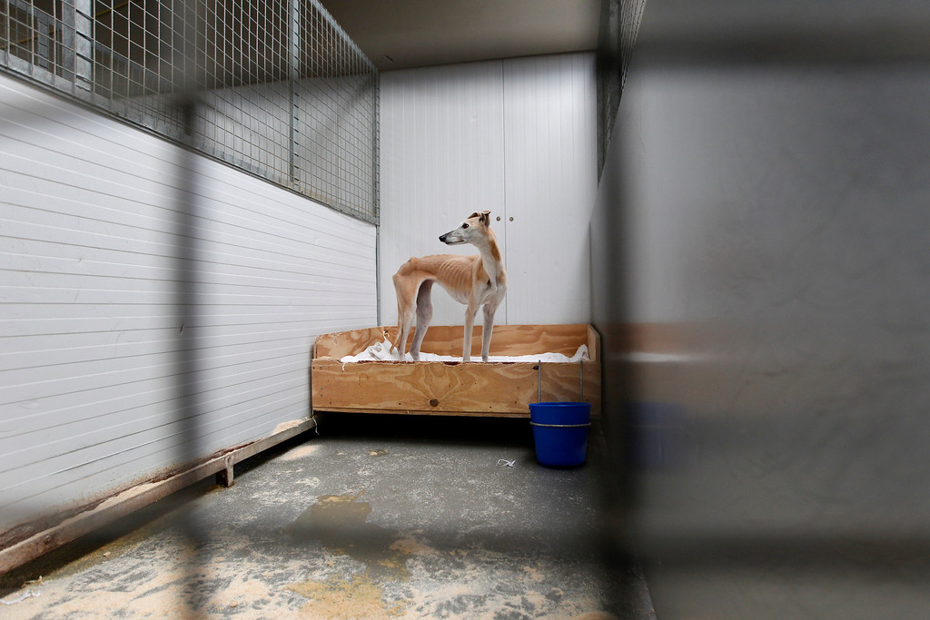 . Alice, an abandoned six year old greyhound who was found wandering the busy Doncaster Road, stands in her kennel at Tia Greyhound & Lurcher Rescue near Hebden Bridge, West Yorkshire July 29, 2011. Alice was flound infested with fleas and at about half her normal bodyweight. Picture taken July 29, 2011.  REUTERS/Chris Helgren