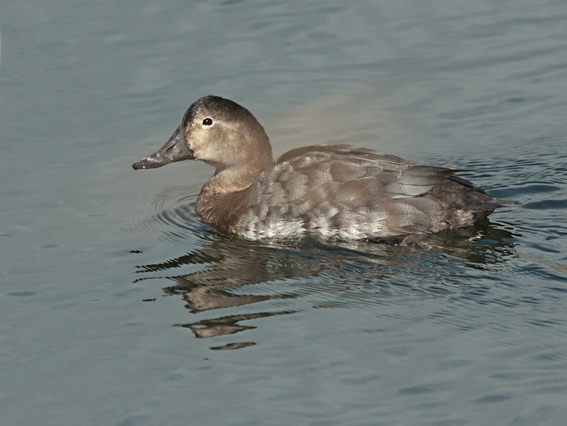 Common Pochard - Tafeleend