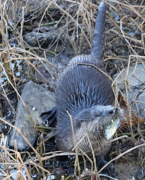 Otter with fish 5