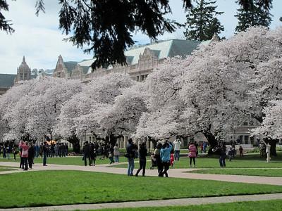 UW Cherry Blossoms April, 2012