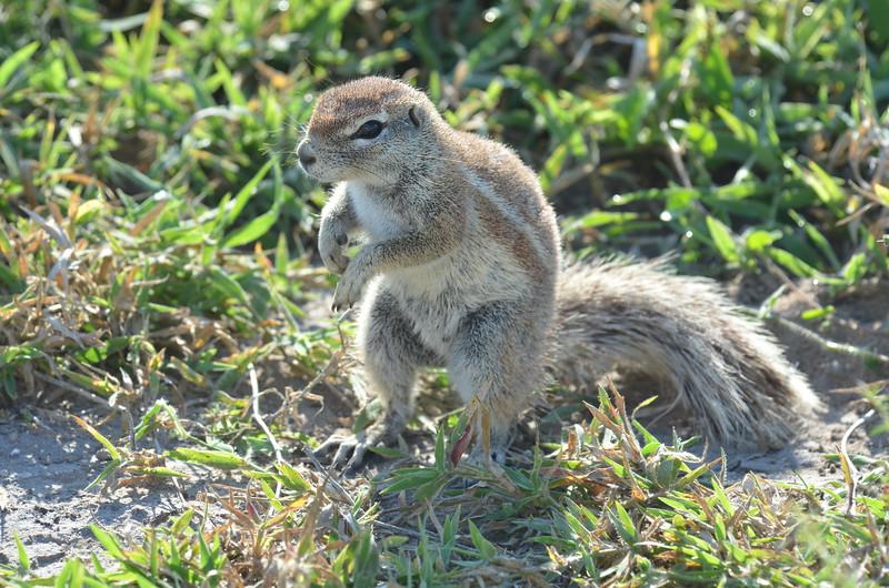 27 - Ground Squirrel - Kalahari - Anne Davis