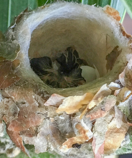 humming bird chicks