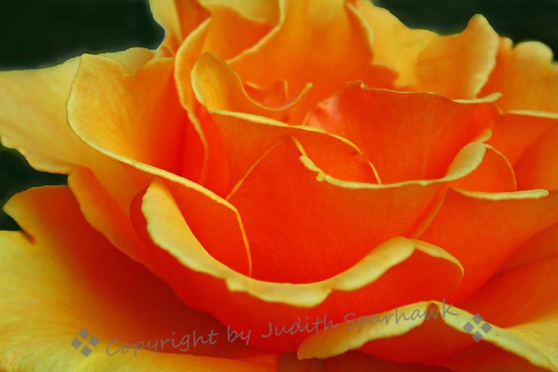 The Fire Rose.jpg