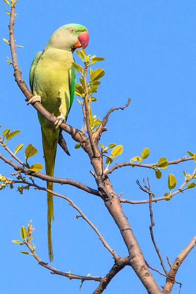 Alexandrine Parakeet in Bandhavgahr Tiger Reserve