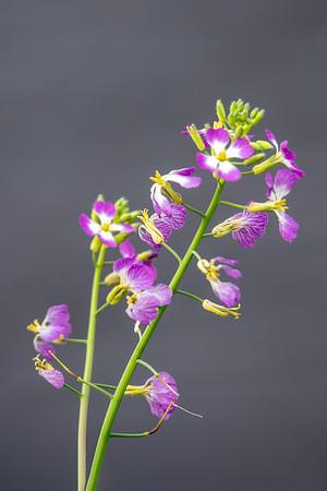 Unidentified pink flower-Lake Henrietta-Tallahassee, FL