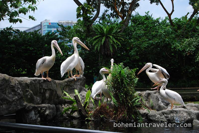 Pelicans at the bird park.jpg