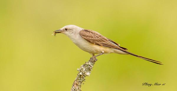 Scissor-tailed Flycatcher_DWL6275-2.jpg