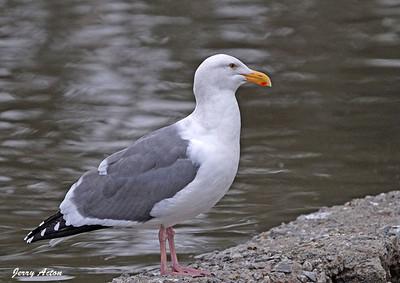 Gull - Western