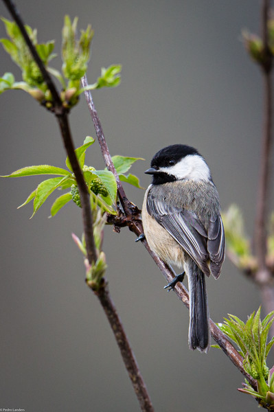 Black-capped Chickadee 01.jpg