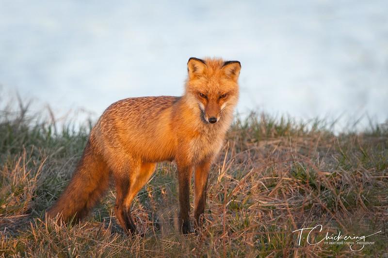 Red Fox-1520777868769.jpg
