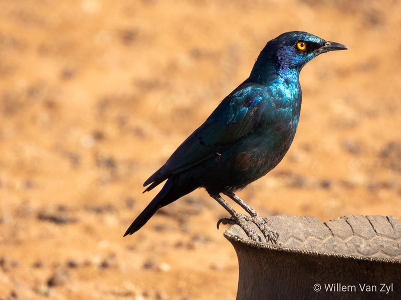 20190705 Burchell's Starling (Lamprotornis australis) from Olifantshoek, Northern Cape