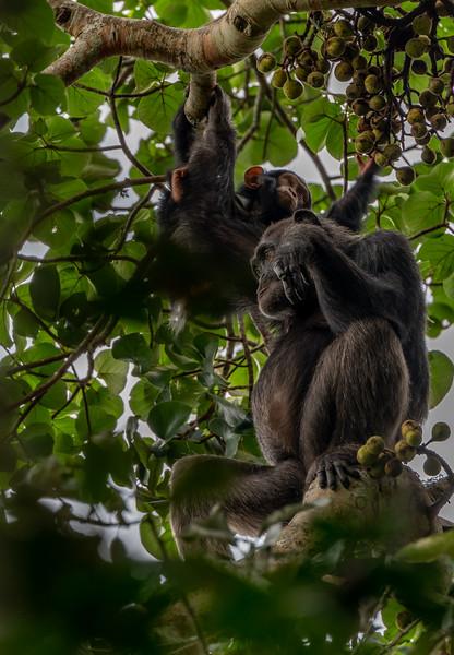 Uganda_T_Chimps-1253.jpg