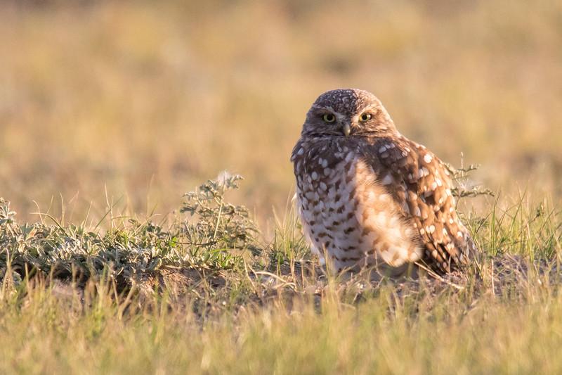 Burrowing Owl Grasslands Canada 2019-4.jpg