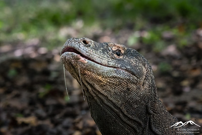 Komodo Dragons - Indonesia 2019