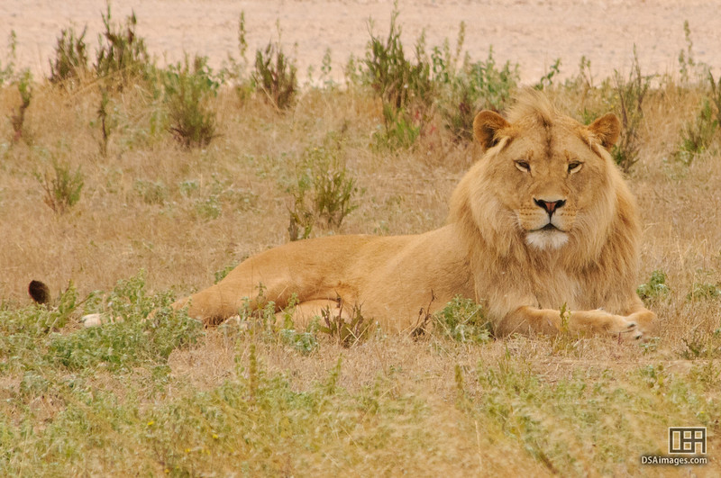 Inkosi (male lion at Monarto Zoo)