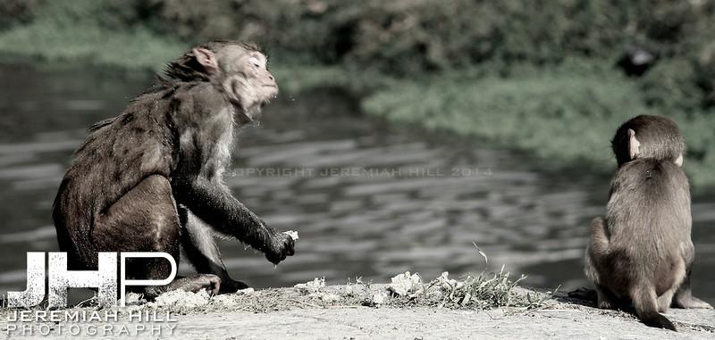 """Monkey Shake With Baby"", Pasputinath, Nepal, 2007 Print IND31106-051"