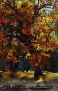 Dappled Autumn Light on Oaks, Yosemite Valley