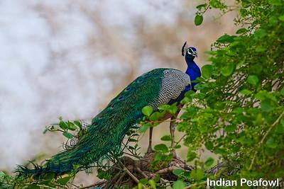 Indian Peafowl, Ranthambhore, India