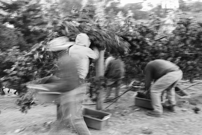 Grape Pickers B&W Blurred Group.jpg