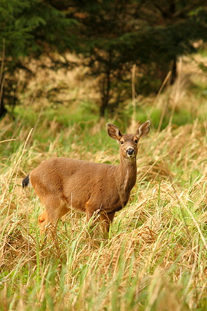 Black-tailed Deer (Odocoileus hemionus) on Cape Alava, Olympic National Park, Washington. © 2007 Kenneth R. Sheide