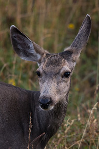 Deer of Yellowstone