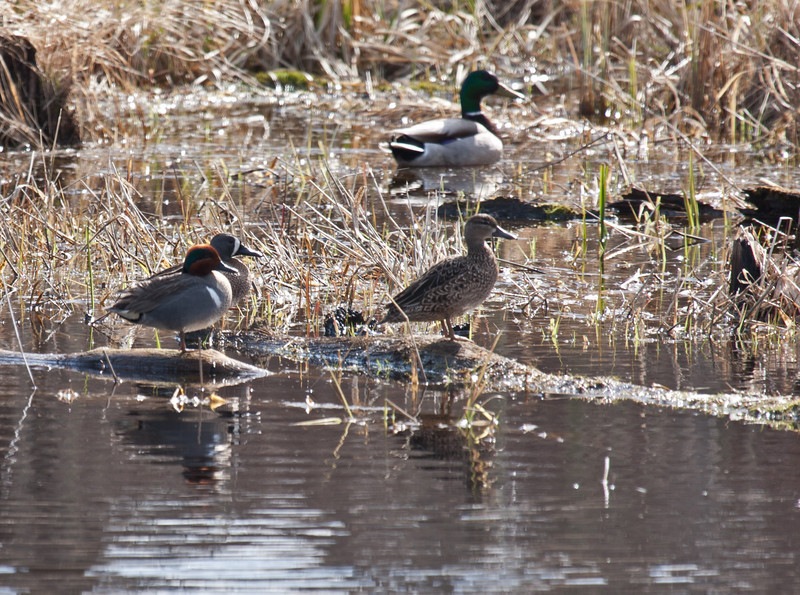 Green Winged Teal and Blue Winged Teal on the left.