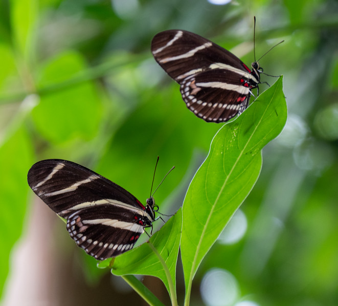 pair of zebra longwings