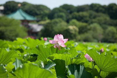 Lotus Flowers 蓮の花